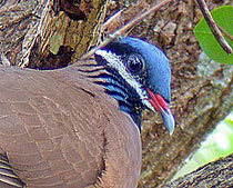 210-blue_headed_quail_dove