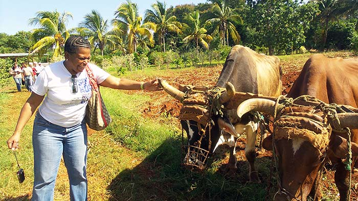 American visitor pets Cuban cow.